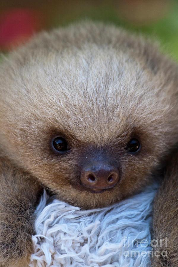 baby-sloths-wallpaper-wp423887