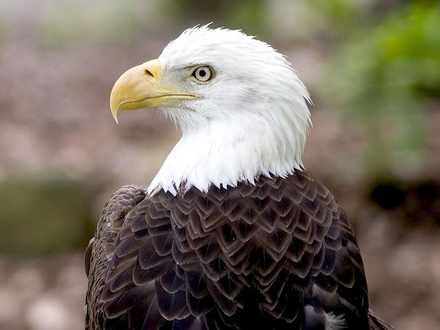 bald-eagle-animal-desktop-x-jpg-×-wallpaper-wp5403540