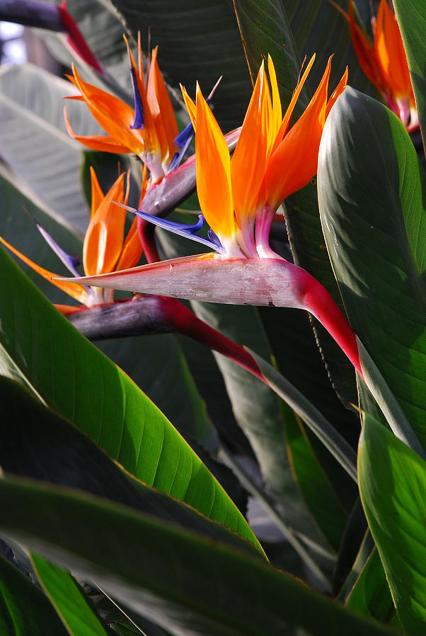 bird-of-paradise-I-got-some-of-these-from-a-date-once-Very-unique-choice-wallpaper-wp4003544