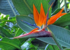 bird-of-paradise-wallpaper-wp400532