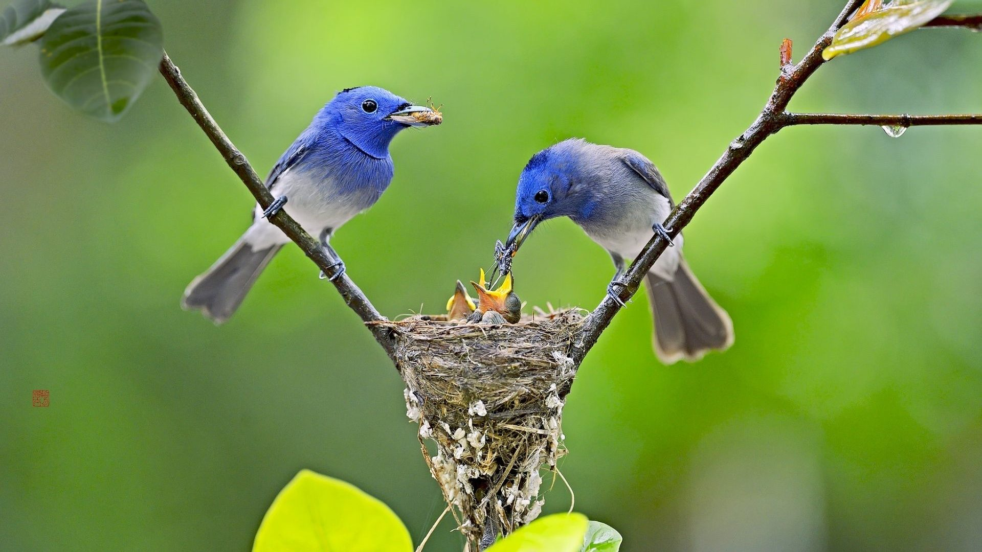 birds-nest-of-little-birds-1920x1080-Need-iPhone-S-Plus-Background-for-wallpaper-wp3603346