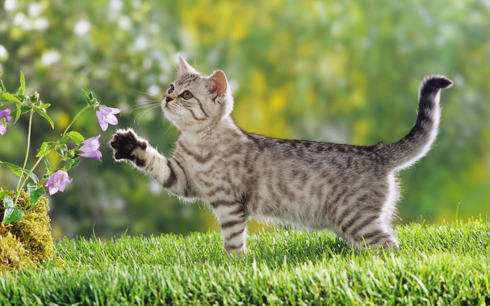 british-shorthair-kitten-wallpaper-wp4604426