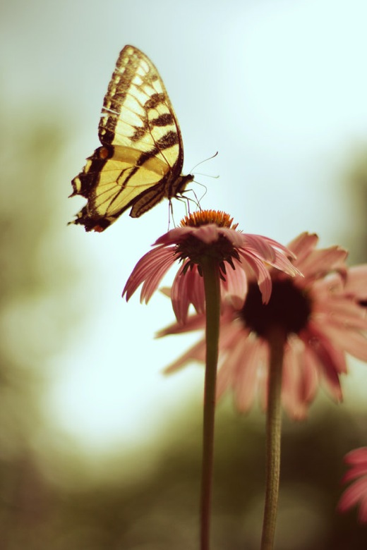 butterfly-wallpaper-wp5005552