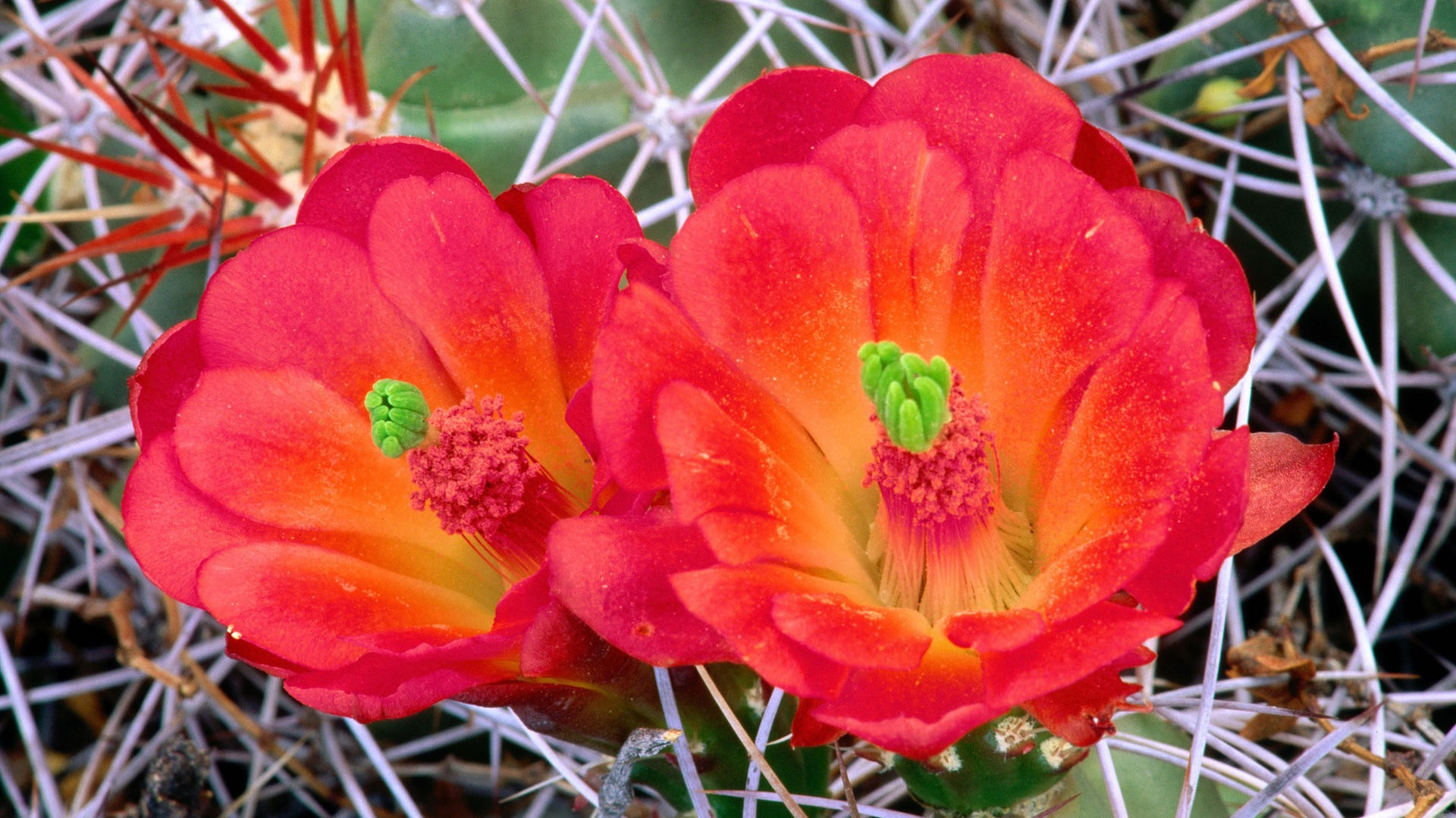 cactus-macro-cactus-flowers-fresh-new-hd-1920×1080-wallpaper-wp3603829