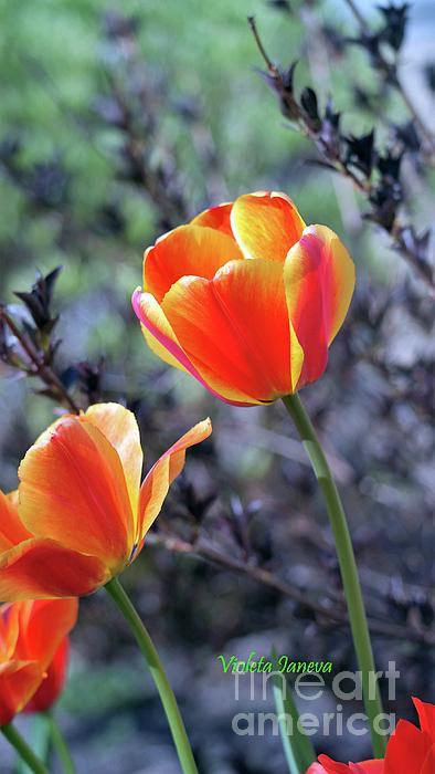 ccbcfbfdadc-tulip-wallpaper-wp3601460
