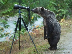 curious-grizzly-bear-wallpaper-wp5006360