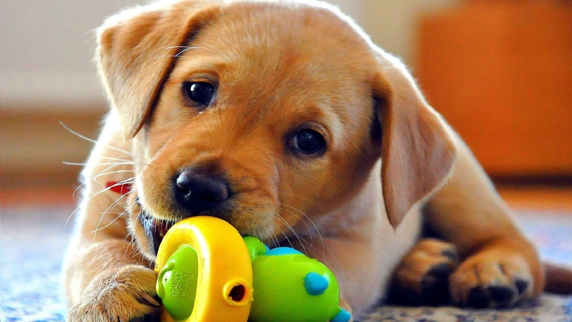 cute-dog-play-with-toy1920x1080-via-Classy-Bro-wallpaper-wp3404319