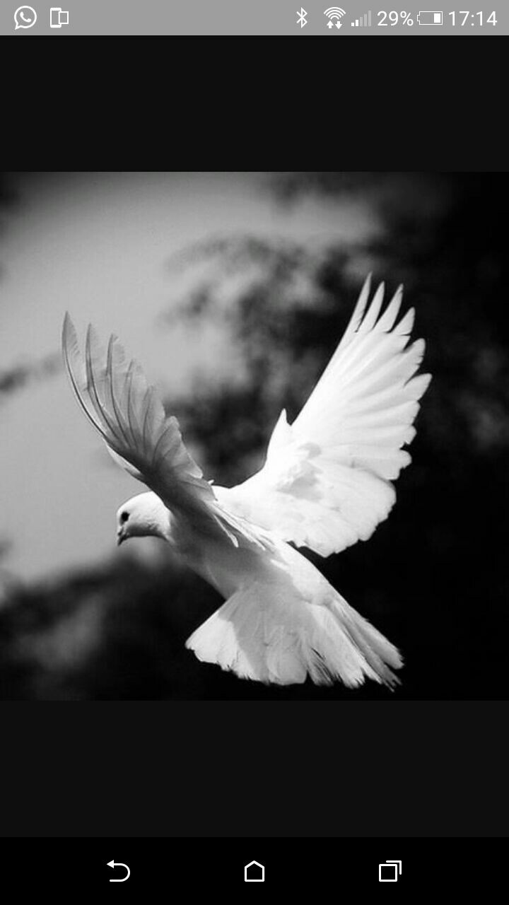ebdededbccecf-dove-pigeon-photo-black-white-wallpaper-wp5805308