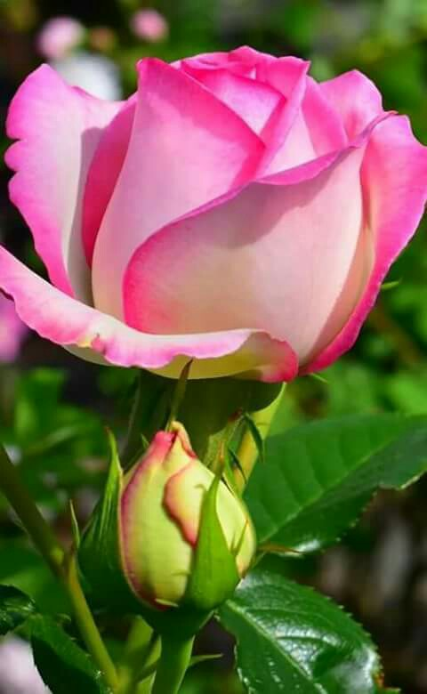 ebecadbafbaeabb-tea-roses-pink-roses-wallpaper-wp5601428