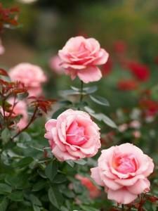 edffeacddeadca-rose-flowers-pink-roses-wallpaper-wp3401593
