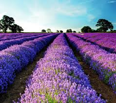 first-image-of-lavendar-flowers-wallpaper-wp5805652