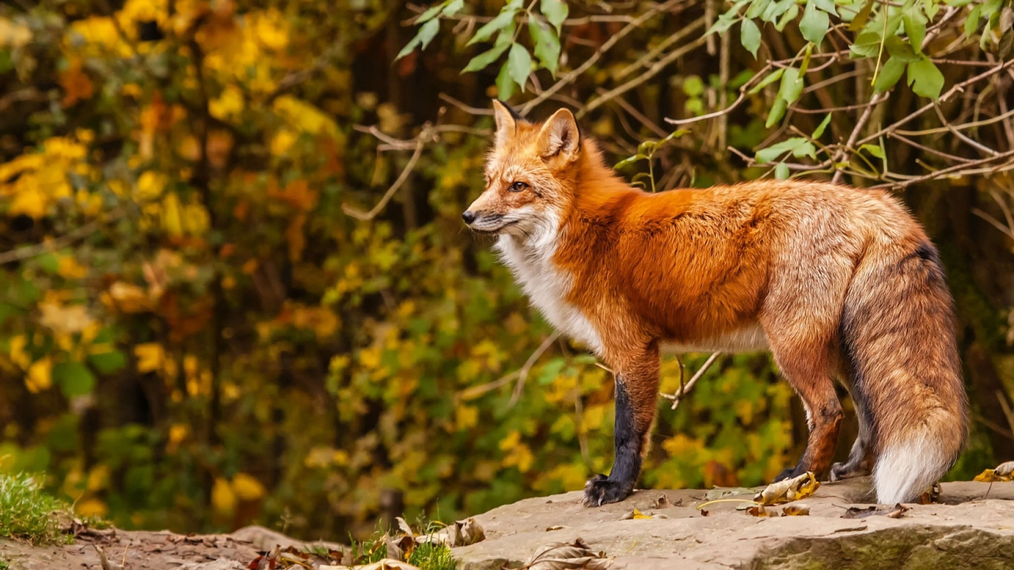 fox-backround-1080p-windows-fox-category-wallpaper-wp3405758