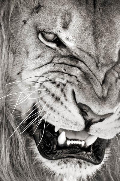 growling-lion-wallpaper-wp4606476