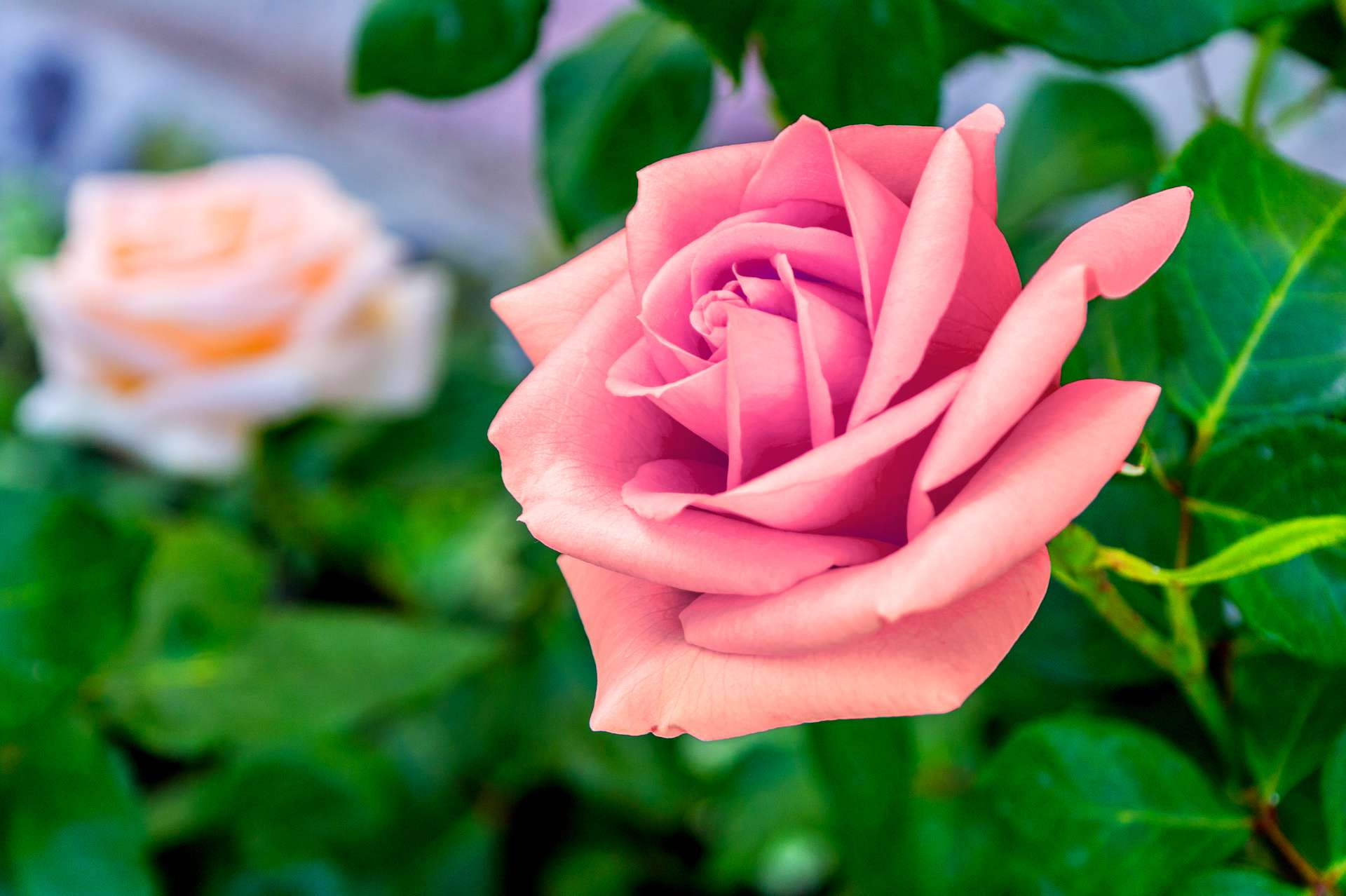 hd-royalty-free-photos-rose-hd-games-1080p-download-hd-for-pc-and-d-wallpaper-wp34012102