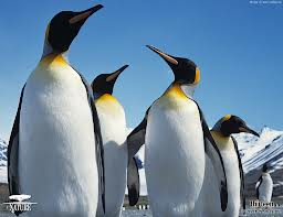 pictures-of-penguins-Google-Search-wallpaper-wp3009474