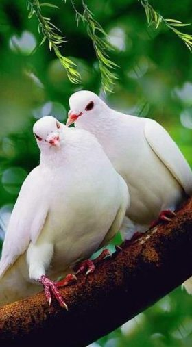 Dove Birds wallpaper