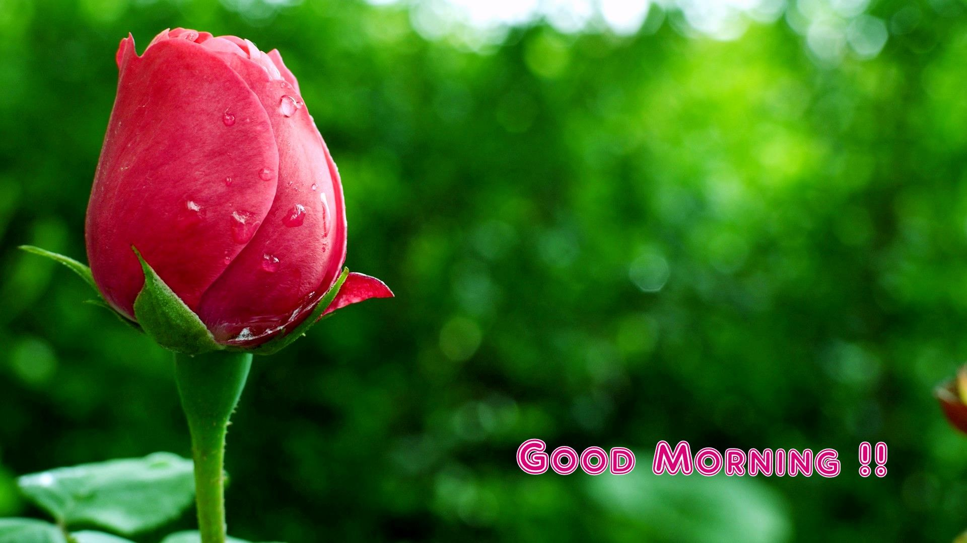 1920-x-1080-px-rose-pic-free-by-Sunday-Blare-wallpaper-wp360736