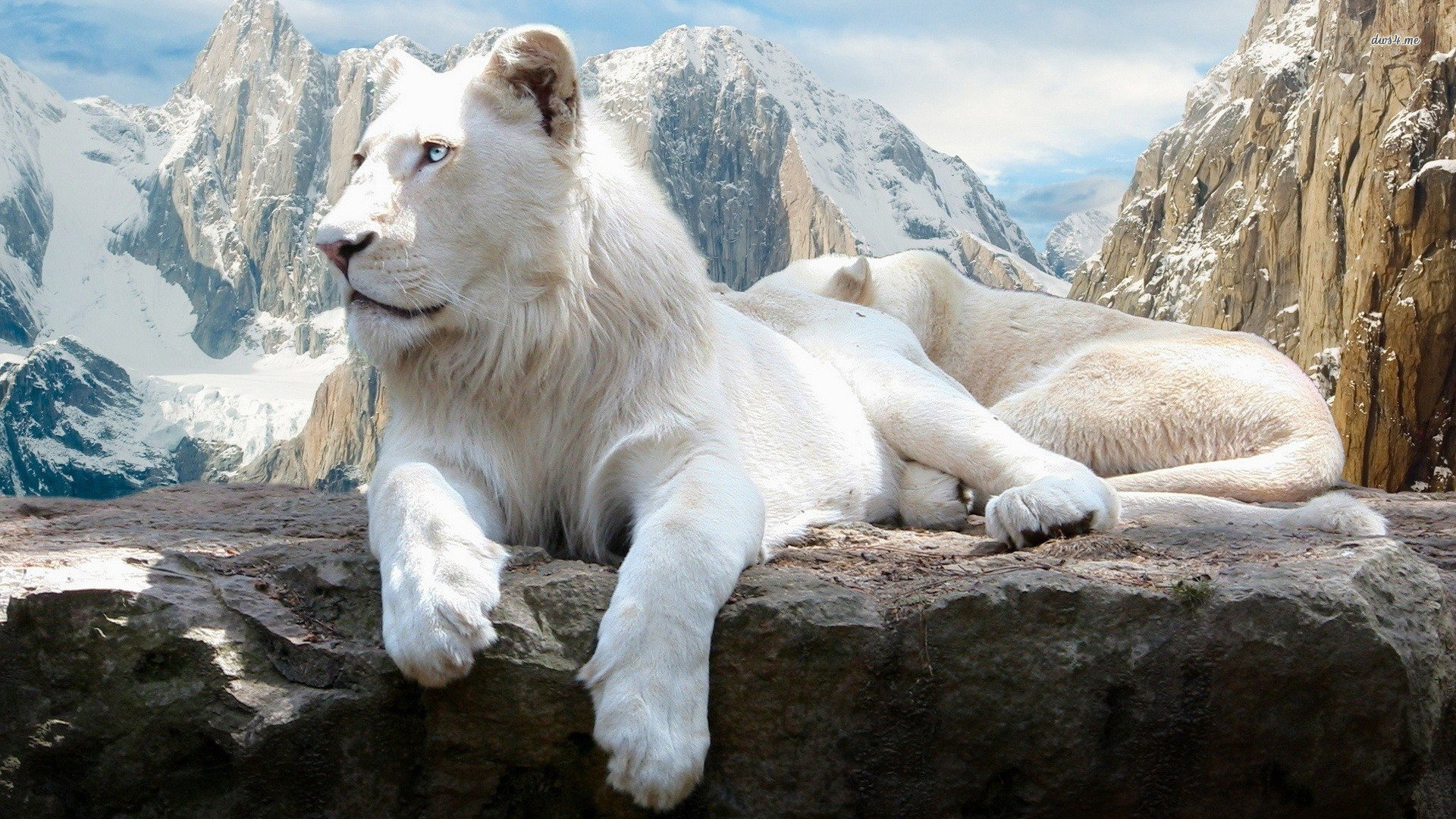 1920x1080-free-desktop-downloads-white-lion-wallpaper-wpc580728