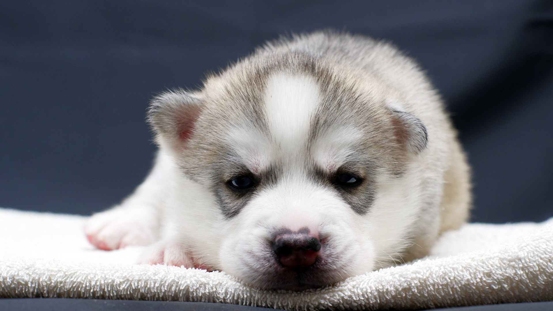 1920x1080-free-puppy-wallpaper-wpc5801055