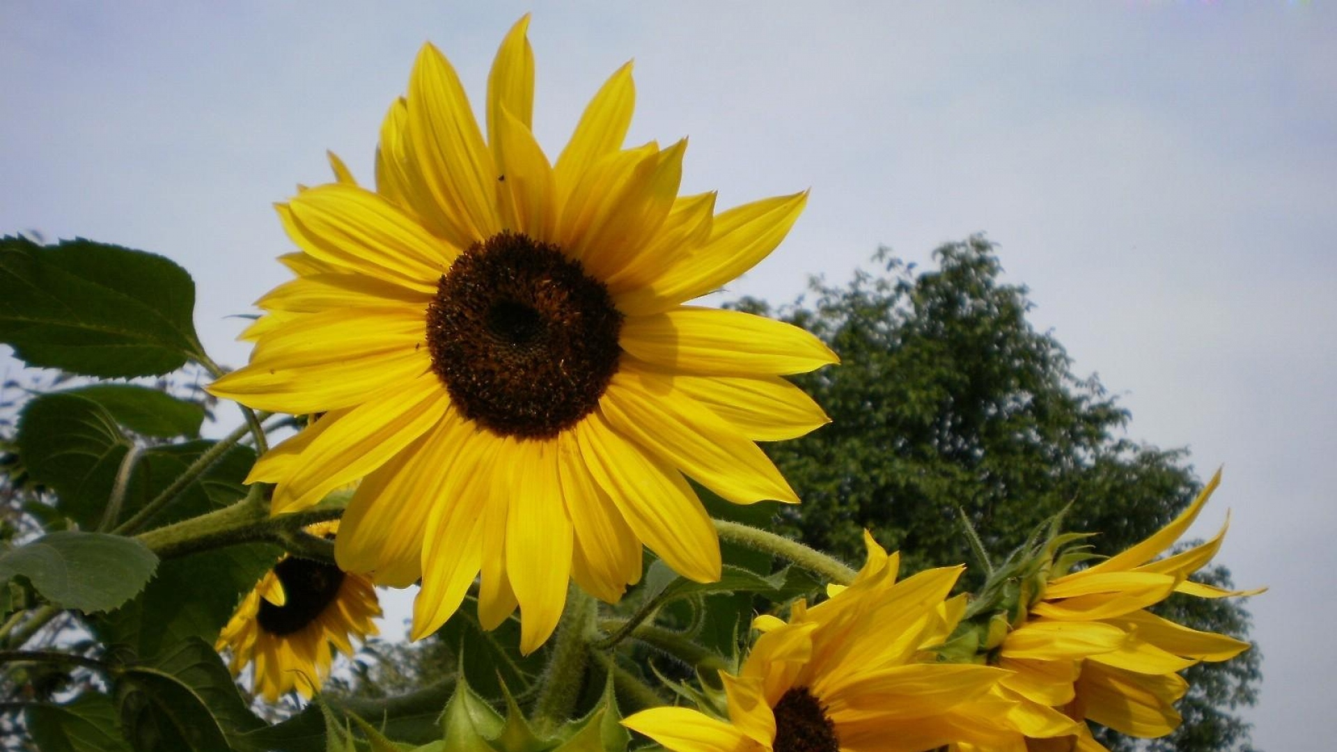 1920x1080-sunflowers-summer-tree-sky-vacation-wallpaper-wpc9001054