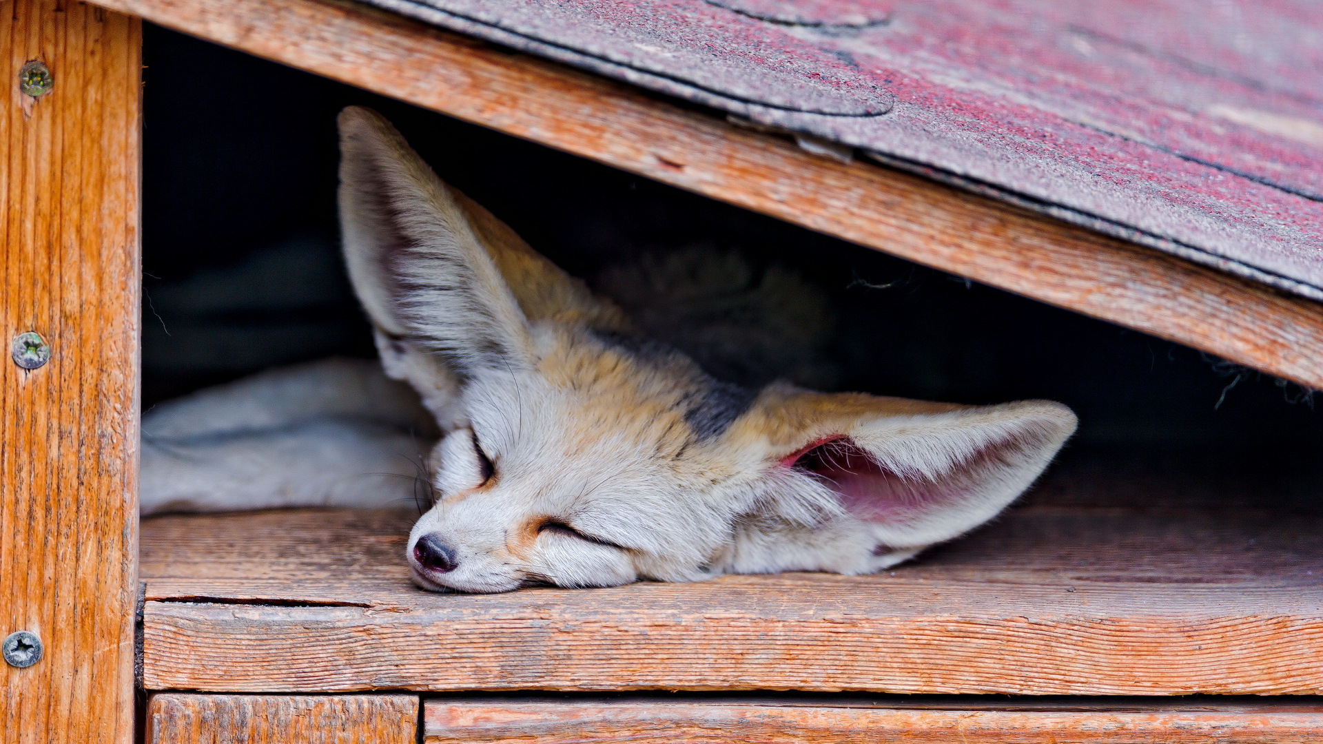 A-sleeping-Fennec-Fox-wallpaper-wpc5801891