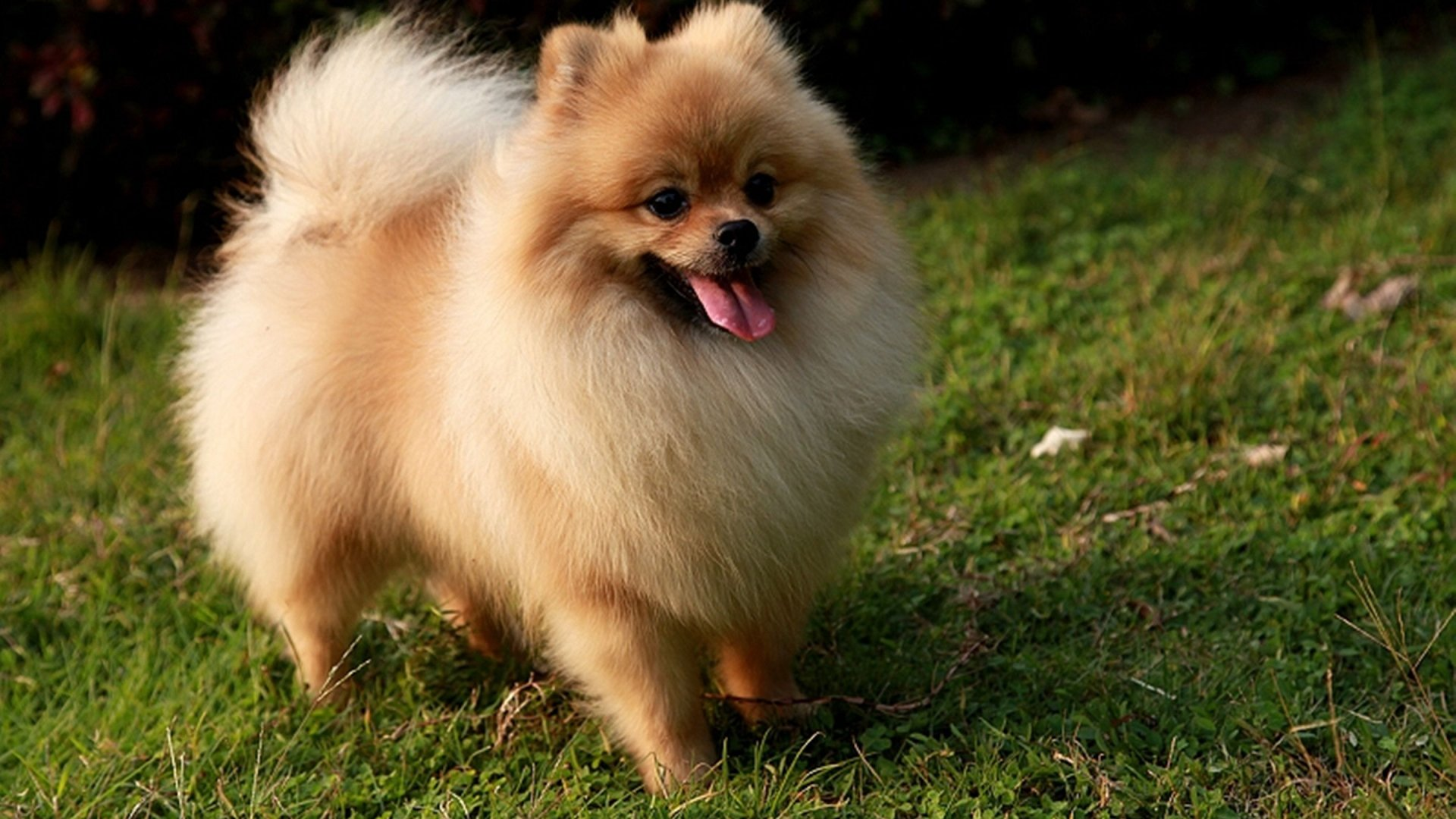 Adorable-Pomeranian-Puppies-For-more-cute-puppies-check-out-our-youtube-channel-https-www-youtu-wallpaper-wpc5801966