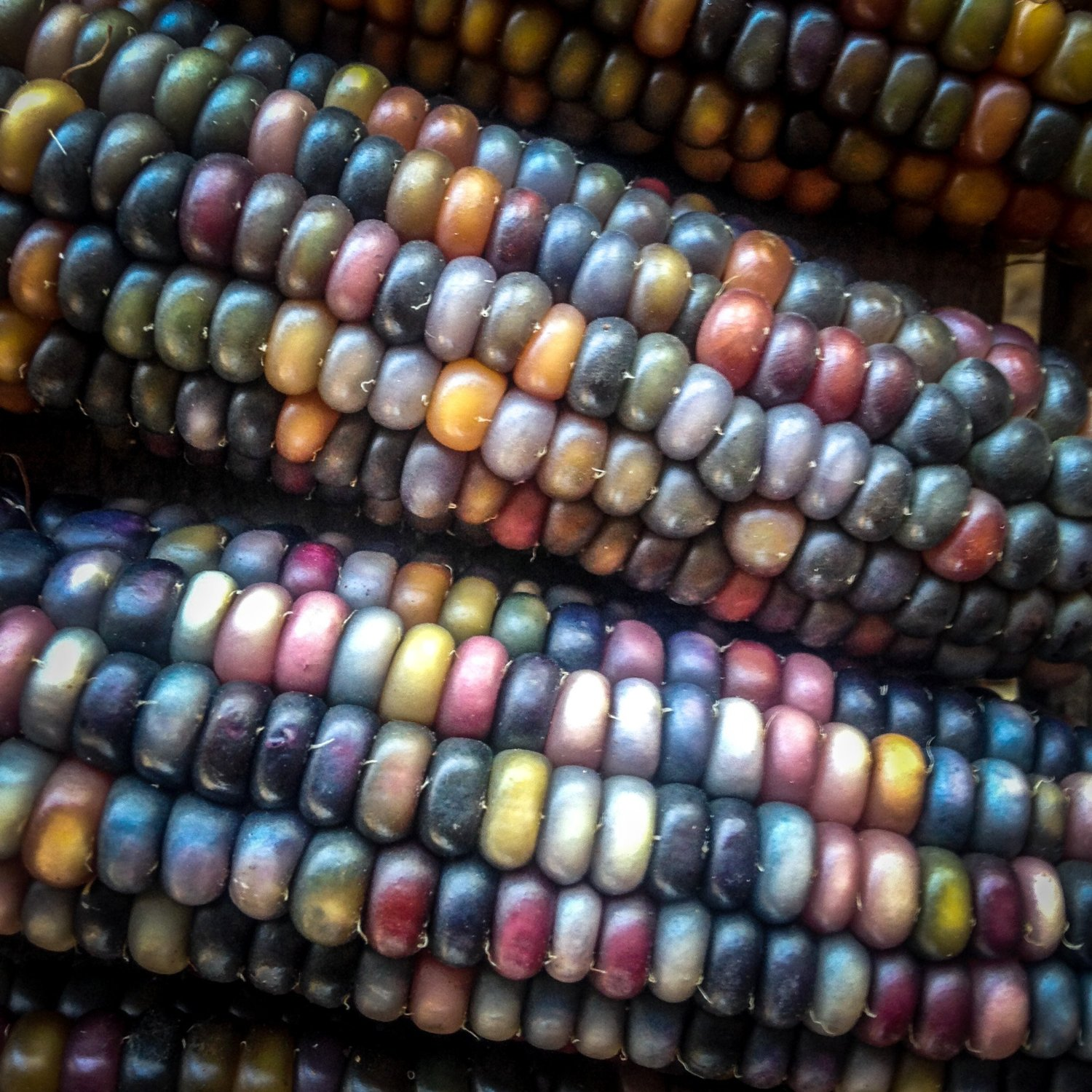Amazon-com-Certified-Organic-Glass-Gem-Corn-seeds-Non-GMO-Open-Pollinated-Heirloom-Seed-P-wallpaper-wp3602417