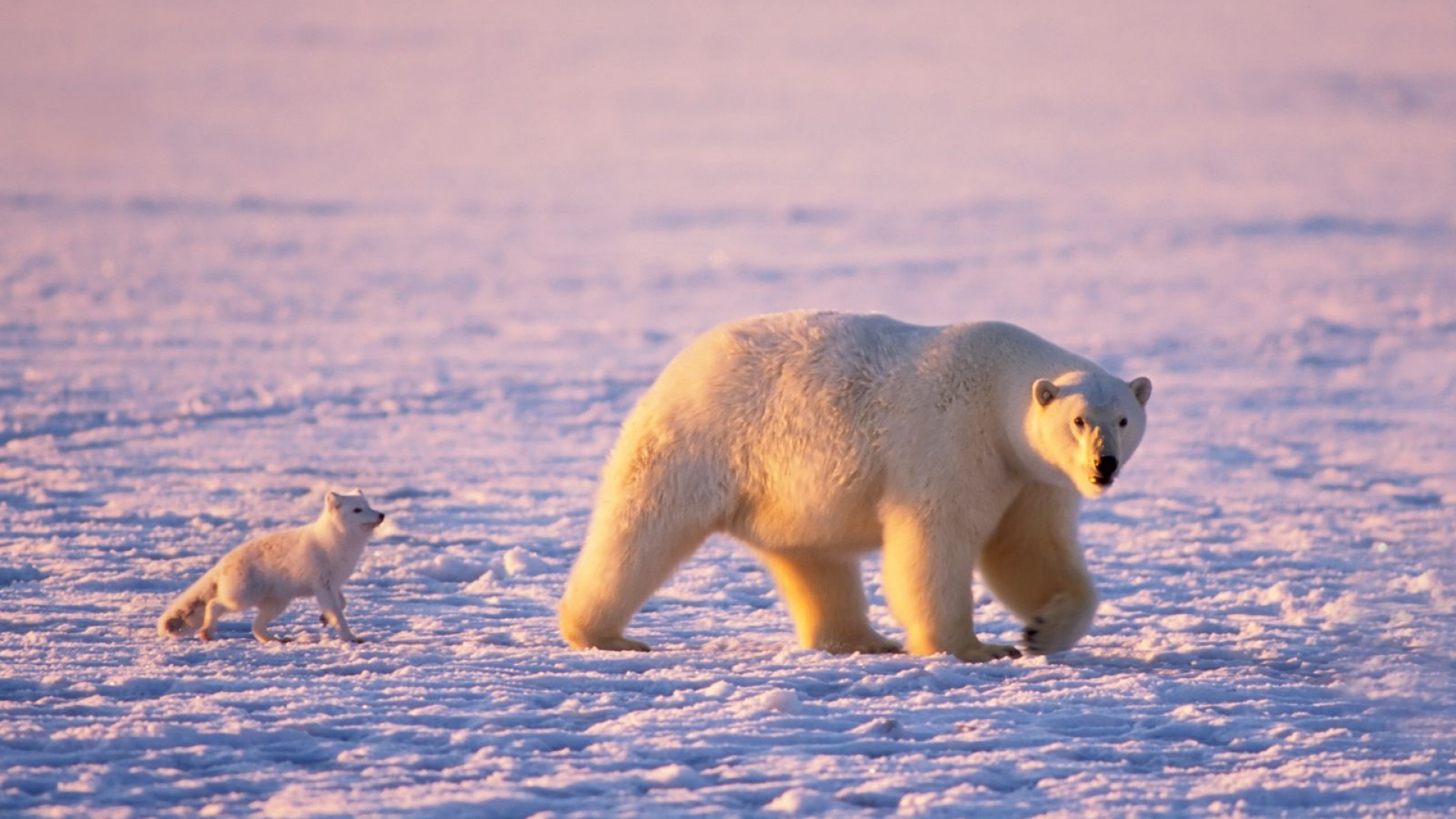 Animals-1920x1080-Full-HD-1080p-1920x1080-bear-polar-animal-s-wallpaper-wp3602502