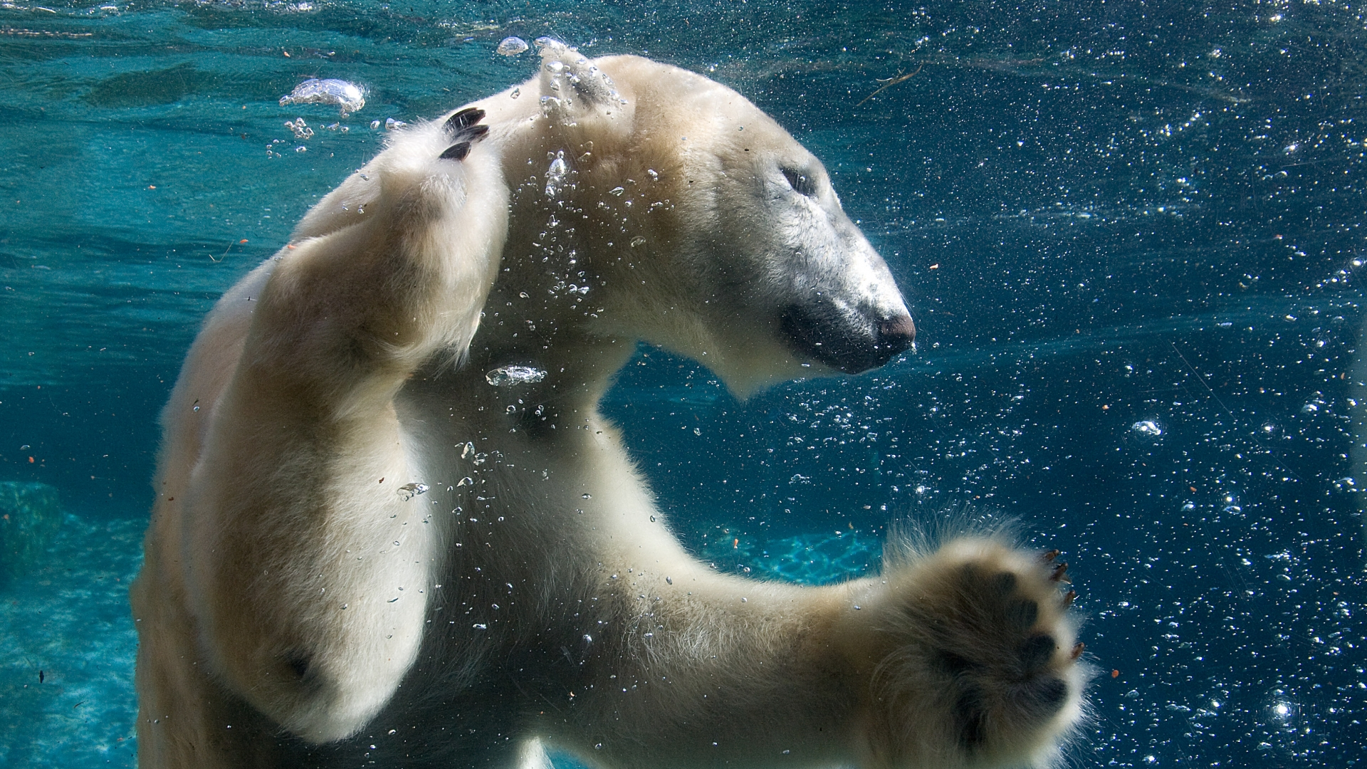 Animals-1920x1080-Full-HD-1080p-Funny-Animals-Swimming-Polar-Bear-Full-wallpaper-wp3602501