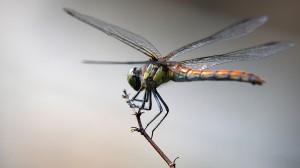 Animals-Dragonfly-Twig-HD-Download-Animals-Birds-Desktop-Backgrounds-Photos-in-HD-Wide-wallpaper-wp3802412