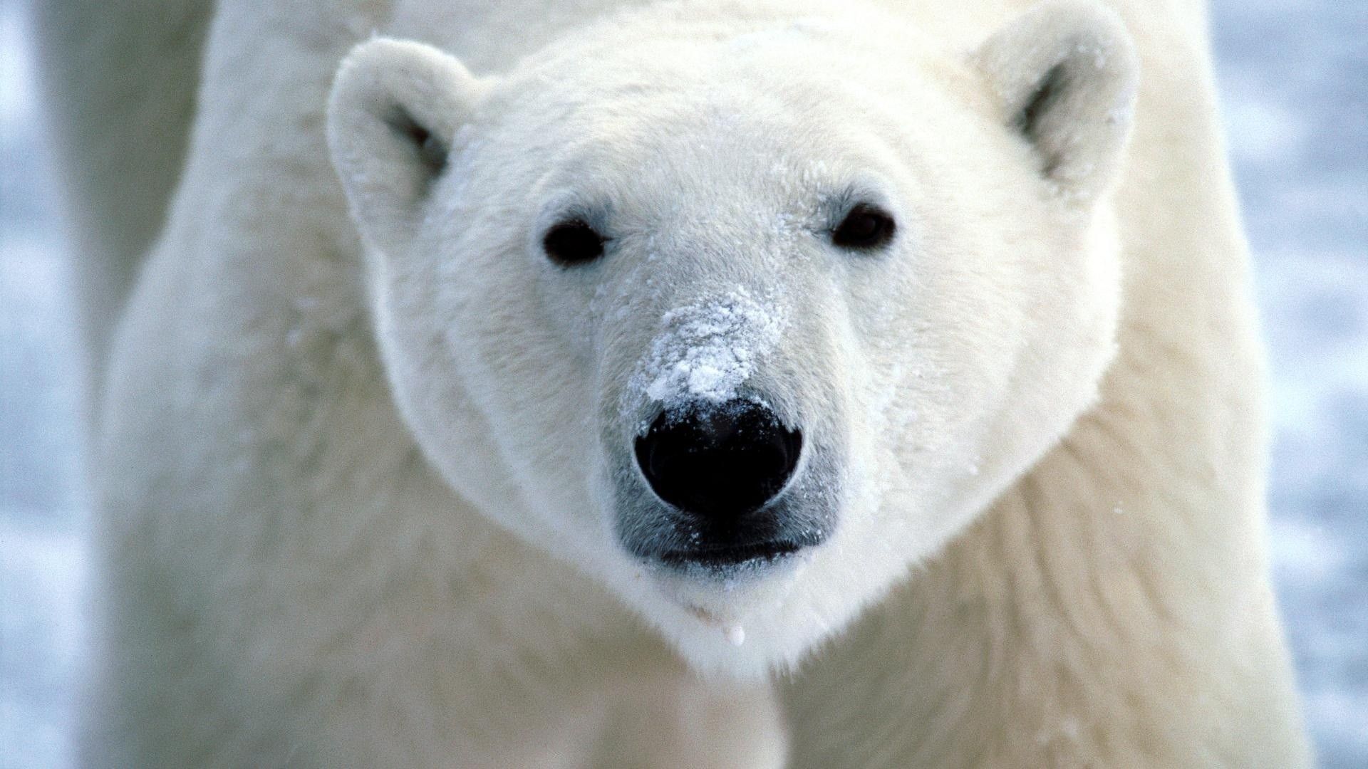 Animals-landscapes-nature-polar-bears-snow-1920x1080-landscapes-nature-polar-bears-snow-via-wallpaper-wp3602506
