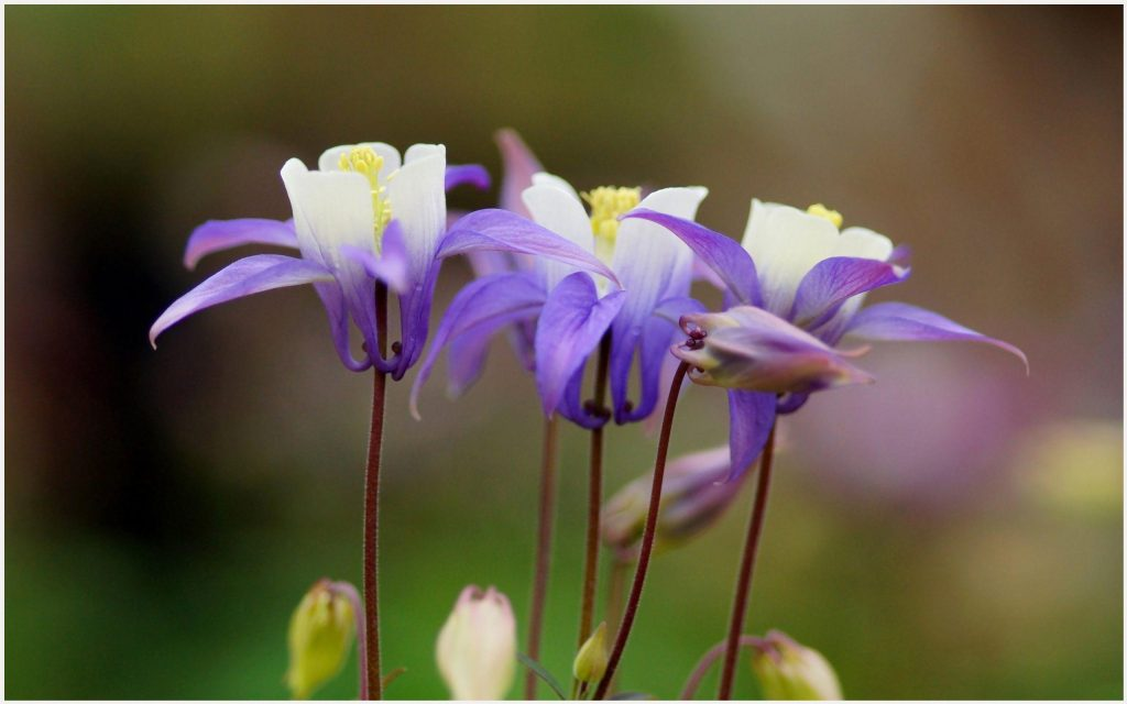Aquilegia-Purple-Flowers-aquilegia-purple-flowers-1080p-aquilegia-purple-flow-wallpaper-wpc5802230