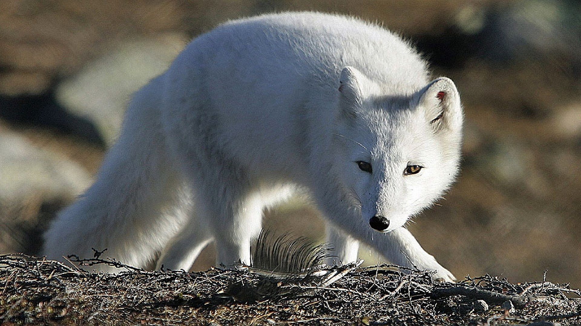 Arctic-Fox-HD-Backgrounds-Page-wallpaper-wpc9202516