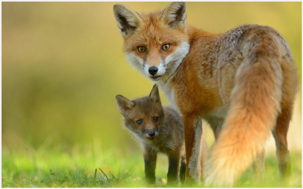 Baby-Fox-Cute-baby-fox-cute-1080p-baby-fox-cute-desktop-baby-fox-c-wallpaper-wpc5802460