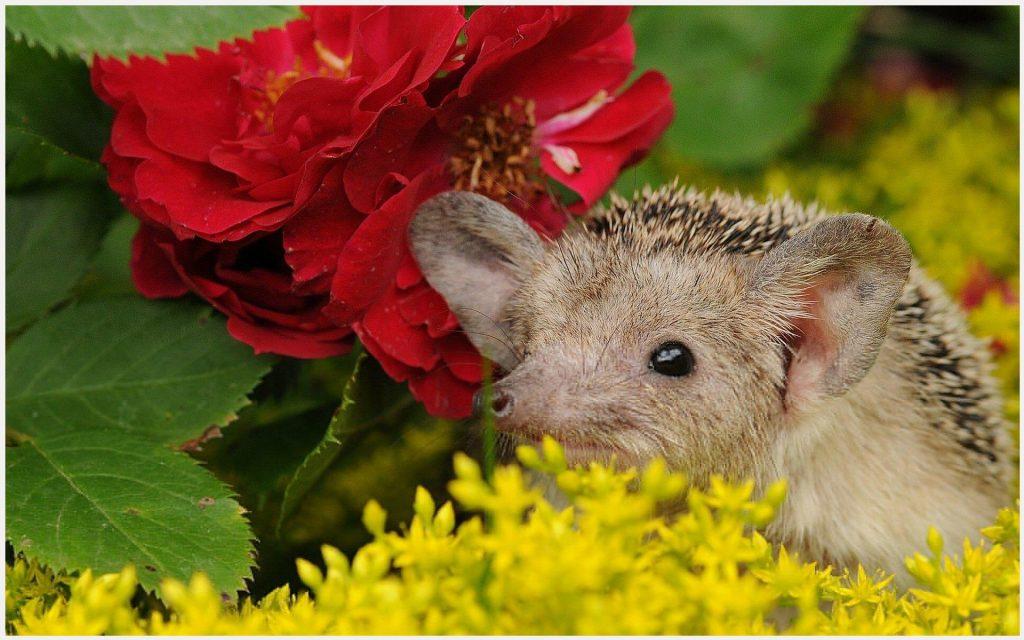 Baby-Hedgehog-Cute-Animal-baby-hedgehog-cute-animal-1080p-baby-hedgehog-cute-wallpaper-wpc9002524