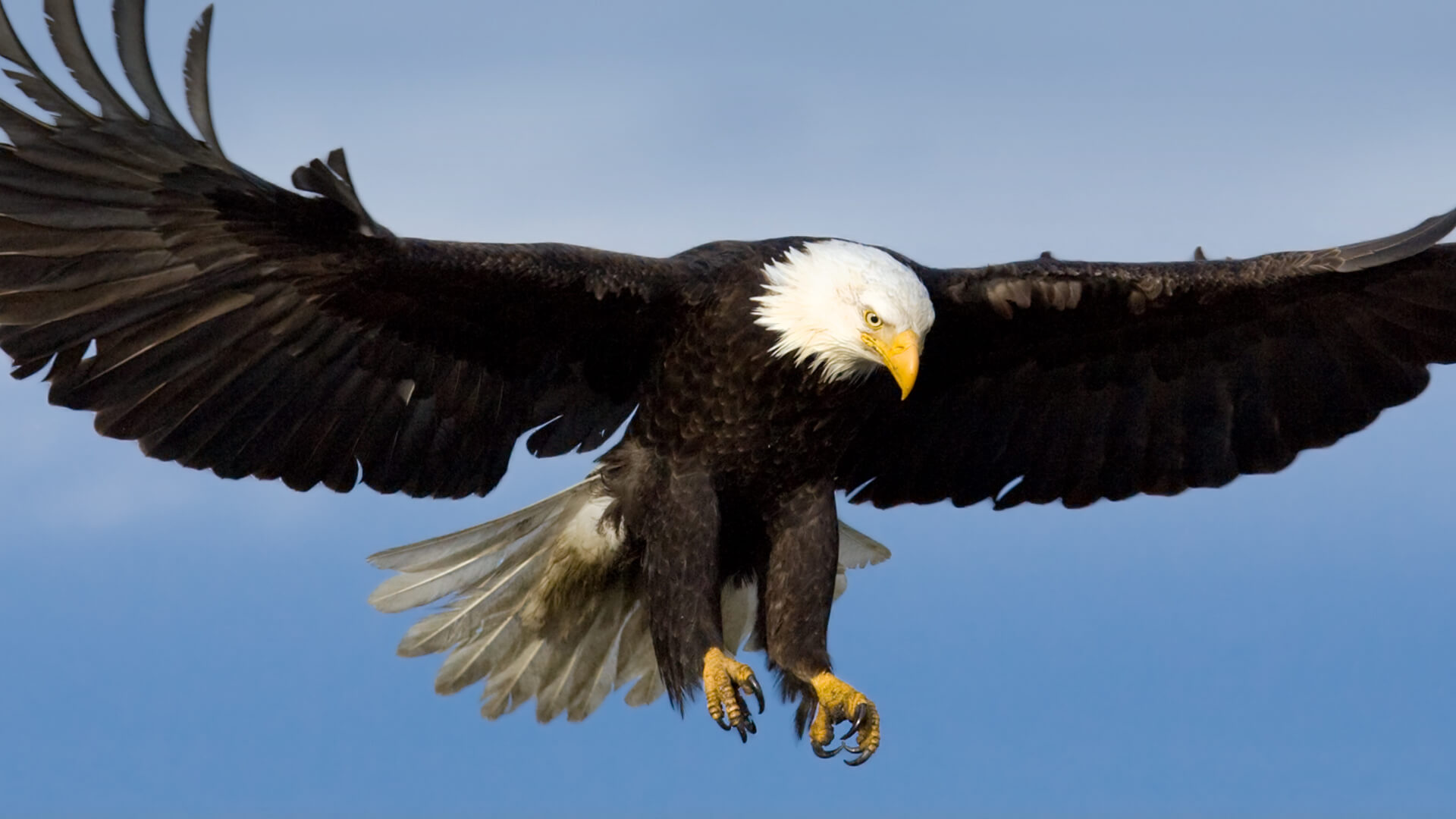 Bald-Eagle-Pic-1920-1080-wallpaper-wpc9202737