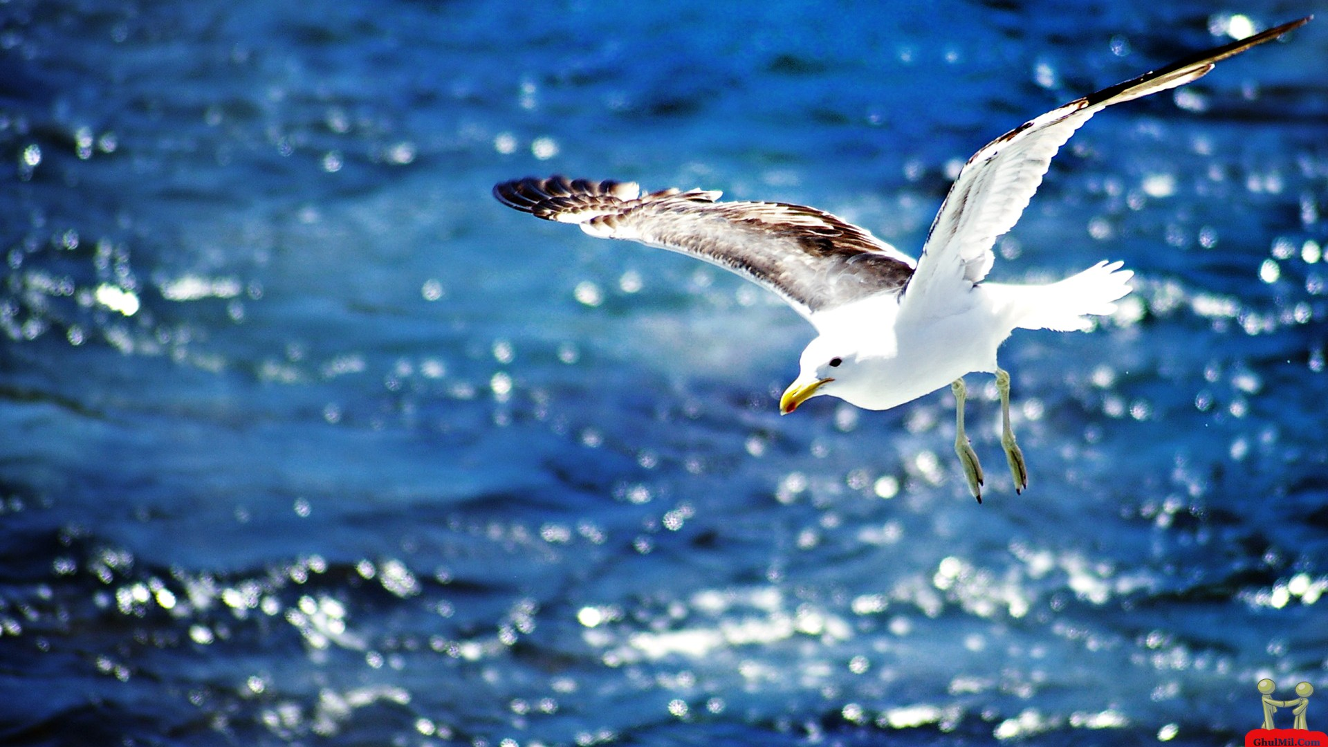 Beautiful-Flying-Seagull-HD-1920x1080-Need-iPhone-S-Plus-Background-for-wallpaper-wp3603116