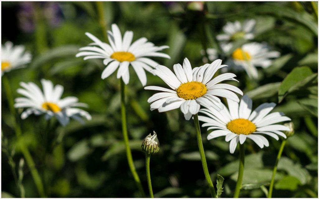 Beautiful-White-Daisy-Flowers-beautiful-white-daisy-flowers-1080p-beautiful-w-wallpaper-wpc5802694