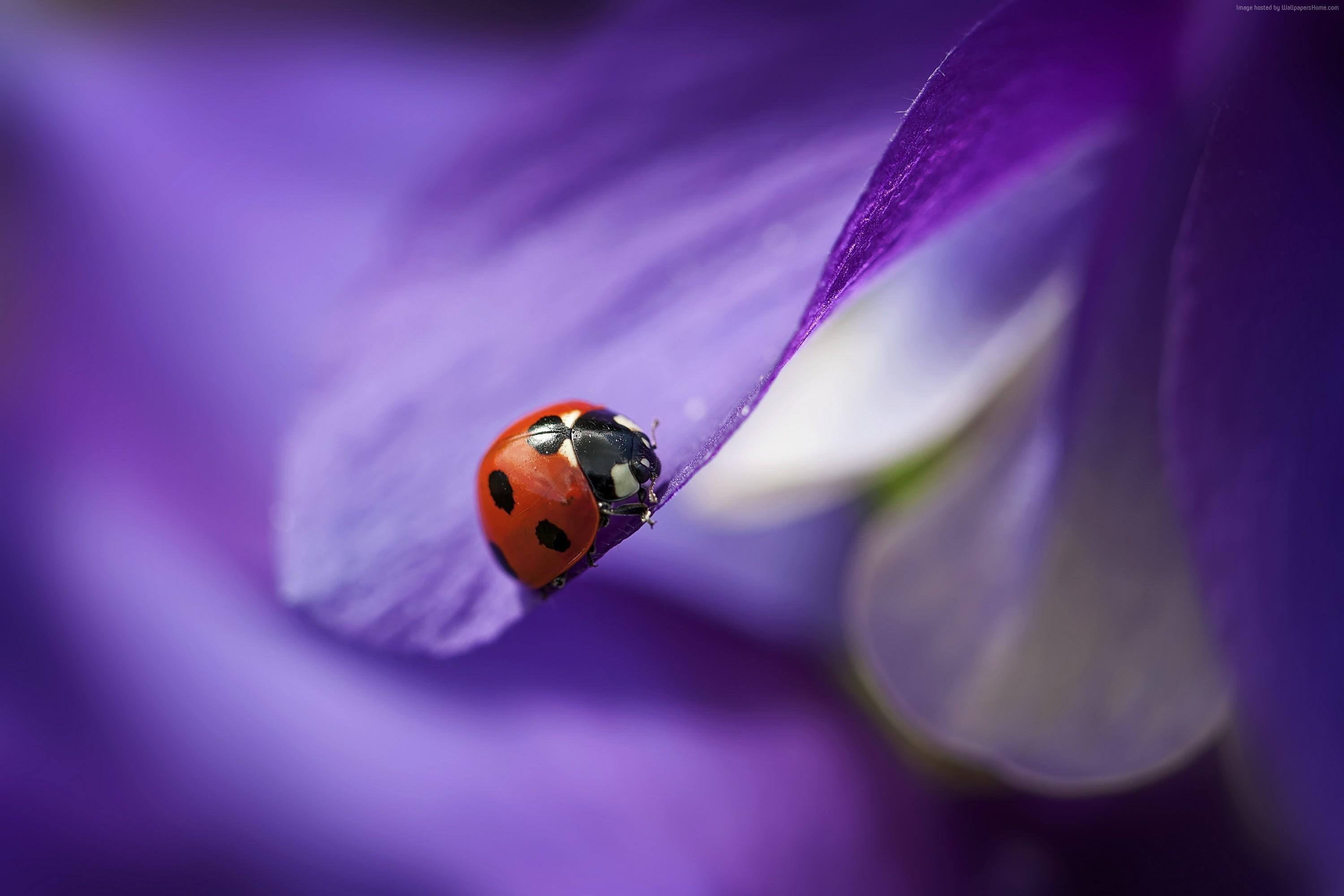 Beautiful-ladybug-on-a-purple-petal-Beautiful-Macro-HD-Download-for-iPad-an-wallpaper-wp3603077