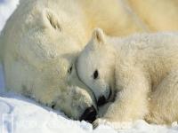 Bellissimo-sfondo-di-Orsi-Polari-Polar-Bears-con-risoluzione-1920-x-1080-categoria-Animali-Cuccioli-wallpaper-wp3603179