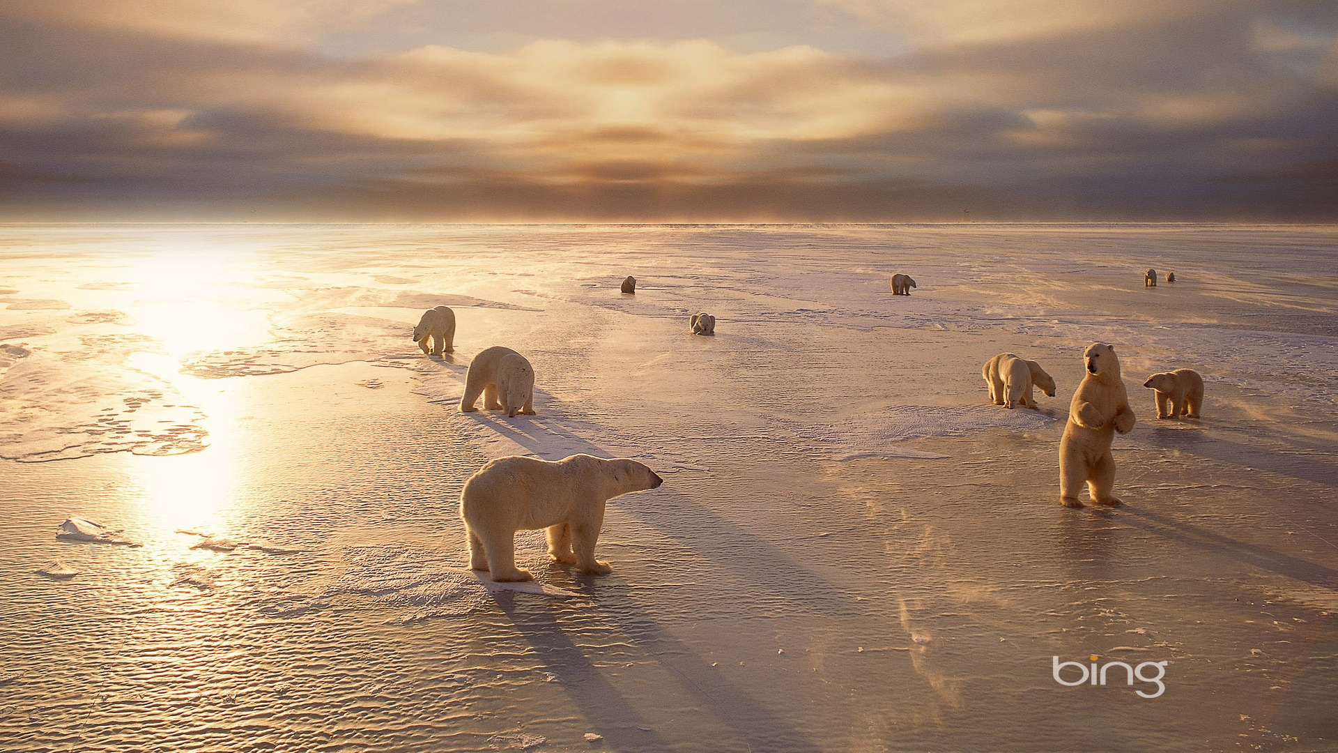 Bing-churchills-polar-bears-in-canada-bing-1920x1080-wallpaper-wp3603338