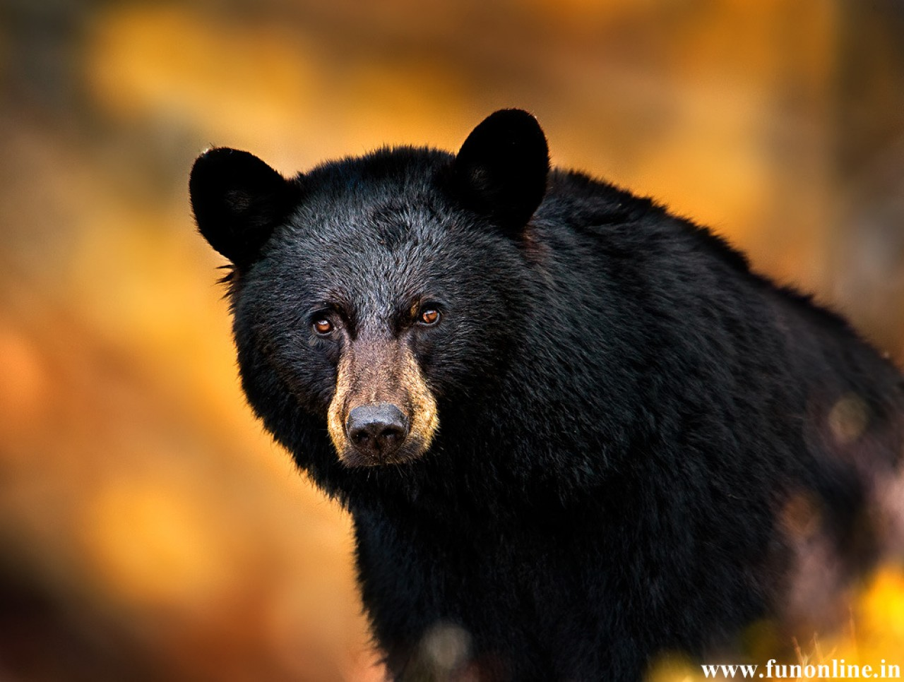 Black-Bear-Download-American-Black-Bears-HD-wallpaper-wp3603379