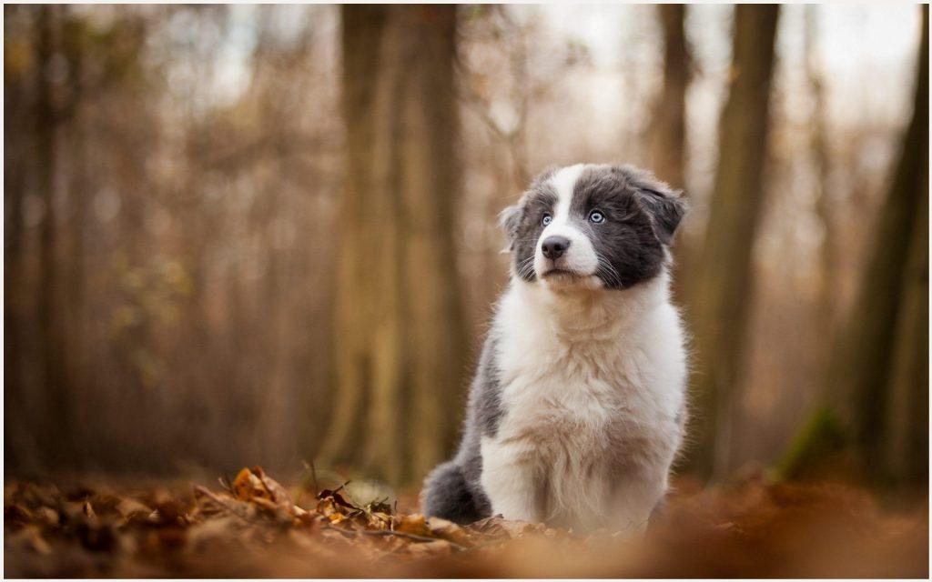 Blue-Eyed-Dog-blue-eyed-dog-1080p-blue-eyed-dog-desktop-blue-eyed-wallpaper-wpc5802924
