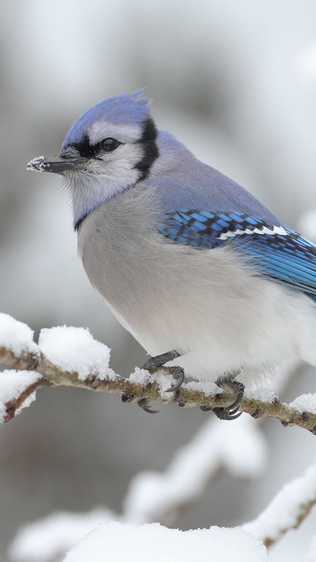 Blue-jay-sitting-on-a-snowy-branch-wallpaper-wpc9003046