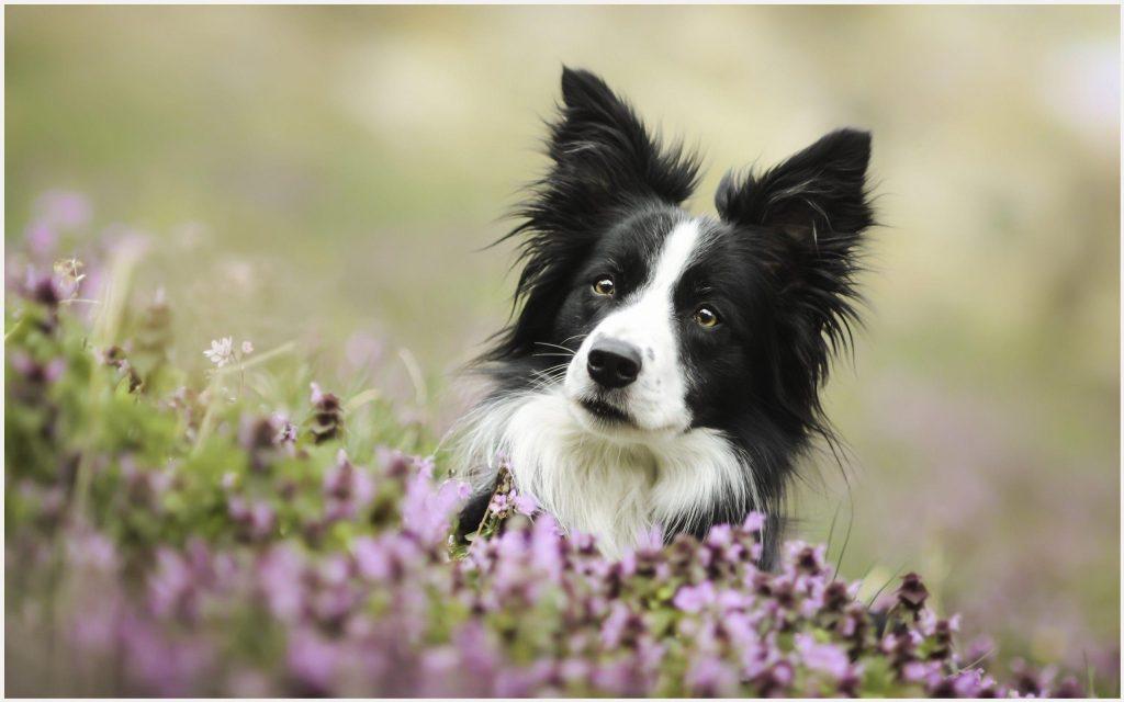 Bordercollie-Dog-bordercollie-dog-1080p-bordercollie-dog-desktop-b-wallpaper-wpc5803016