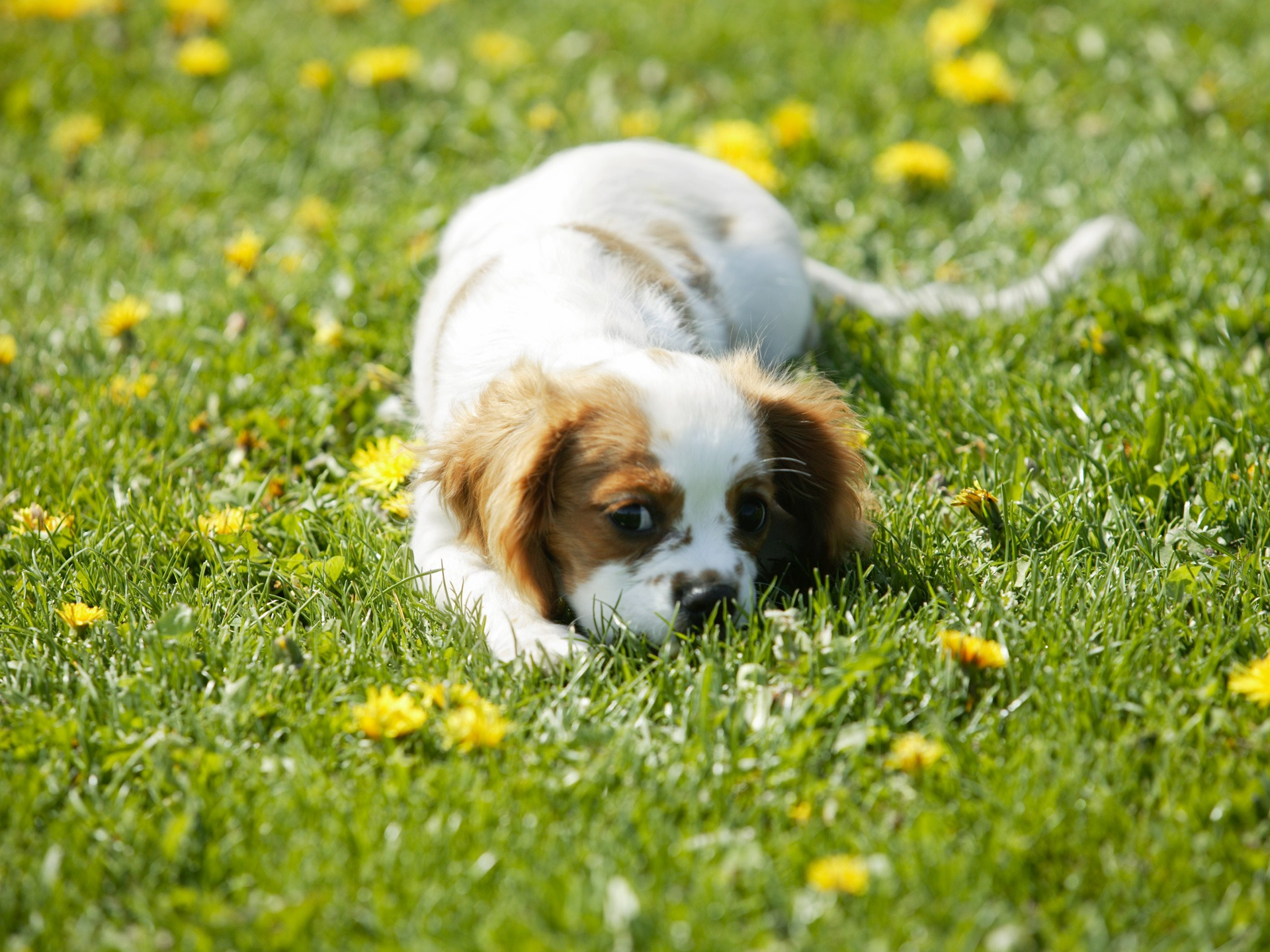Bored-Dogs-Animals-in-format-for-free-wallpaper-wpc5803017