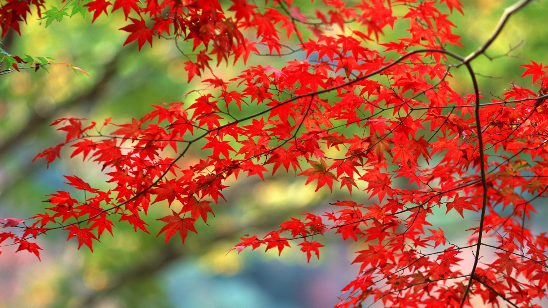 Bright-Autumn-Festival-starts-this-Friday-th-April-The-reds-are-looking-gorgeous-http-ww-wallpaper-wpc5803054