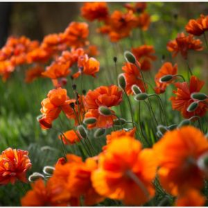 Buds-And-Blossoms-Orange-Flowers-buds-and-blossoms-orange-flowers-1080p-buds-wallpaper-wp3803493