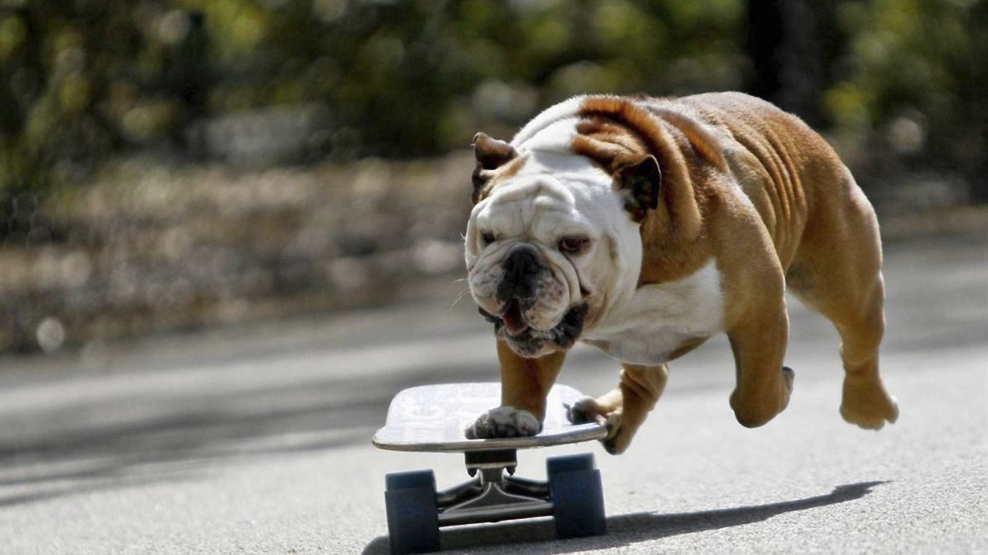 Bulldog-Playing-Skateboard-Hd-1080p-wallpaper-wpc5803095