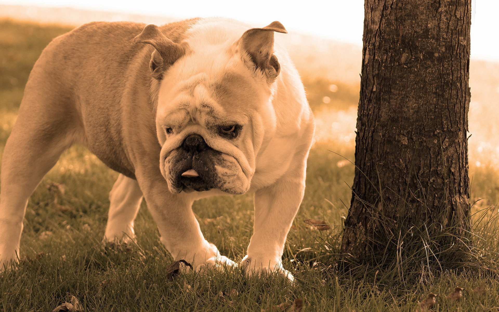 Bulldog-hd-free-Free-Download-HD-Dogs-Puppy-Cute-puppy-hd-free-do-wallpaper-wpc5803094